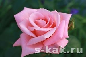 Как сделать лосьон,крем,маску из лепестков роз