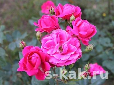 Крем, лосьон и масло из лепестков роз