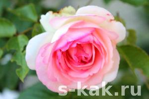 Как укрывать розы на зиму