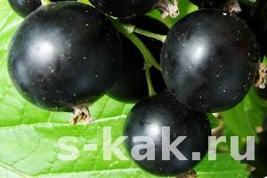 Как посадить черную смородину