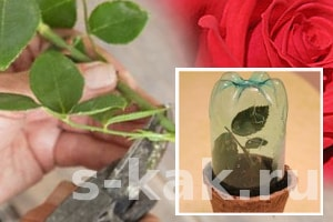 Как размножить плетистую розу черенкованием