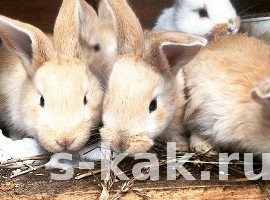 Как разводить кроликов и регулировать численность