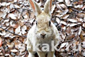 Как выбрать кролика-производителя